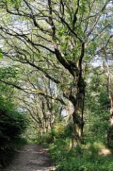 Knorrige Eichen am Wegesrand im Naturschutzgebiet Höltingbaum - alte Eichenbäume - Bilder aus Hamburger Naturgebieten.