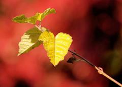 Gelbe Herbstblätter vor rotem Herbstlaub - Bilder aus Planten un Blomen, Hansestadt Hamburg.