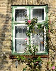 Holzfenster mit farbig abgesetzten Eisenwinkeln - gelbe Ziegelfassade, Rosenstrauch - Fotos aus Neustadt in Holstein.
