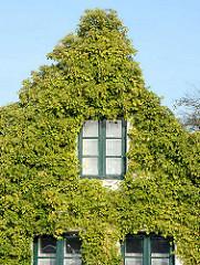 Hausfassade dicht mit Efeu bewachsen - Holzfenster mit grünem Rahmen; Fotografien der Sehenswürdigkeiten von Neustadt in Holstein.