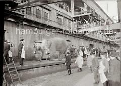 Der Elefant ist mit dem Kran an Land gebracht und auf der Laderampe des Fruchtschuppens C am Magdeburger Hafen abgesetzt worden. Das Tier wird von seinem Wärter von der Rampe geführt. ( ca. 1934 )