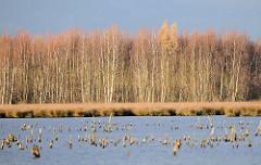 Himmelmoor in Quickborn - auf der 605 Hektar grossen Hochmoorfläche wird teilweise noch Torf abgebaut - auf anderen Teilen des Moors findet eine Renaturierung statt. Blick auf eine wiederbewässerte Anbaufläche vom Himmelmoor - Bruchwald aus Moor