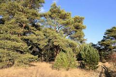 Kiefernbäume vor blauem Himmel - sonniger Wintertag im Naturschutzgebiet Lütt Wittmor in der Gemeinde Henstedt Ulzburg.