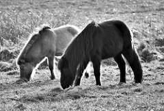 Ponies auf der Weide; Wiese im Naturschutzgebiet Lütt Wittmoor in Henstedt Ulzburg.
