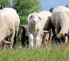 Grasende Schafherde und Osterlamm auf dem Elbdeich - die Schafe halten das Gras auf dem Deich kurz.