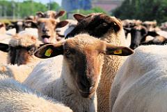 Eine Schafherde weidet auf dem Reiherstieg Hauptdeich in Hamburg Wilhelmsburg. Schafskopf mit Kennmarken in den Ohren.