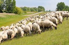 Schafsherde auf dem Moorwerder Hauptdeich in Hamburg Wilhelmsburg.