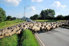 Eine Schafsherde überquert die Strasse Reiherstieg Hauptdeich um vom Weideplatz auf den Deich zu einer Wiese zu gelangen - der Strassenverkehr wird gestoppt.