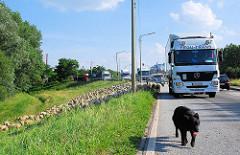 Der Strassenverkehr auf dem Reiherstieg Hauptdeich rollt wieder ungestört - der Hütehund sichert die Weide.
