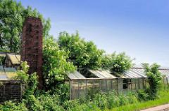 Altes Treibhaus / Glashaus in Hamburg Wilhelmsburg - die Scheiben sind teilweise zerstört, blühende Hollunderbüsche wachsen durch das Dach.