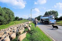 Die Schafsherde hat den Reiherstieg Hauptdeich überquert und weidet auf einer Wiese an der Strasse, beobachtet vom Schafshirten und dem Schäferhund / Hütehund - Kesselwagen.