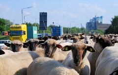 Eine Schafherde weidet auf dem Reiherstieg Hauptdeich in Hamburg Wilhelmsburg - Lastwagenverkehr auf der Strasse.