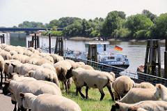 Schafsherde auf dem Finkenrieder Hauptdeich in Hamburg Wilhelmsburg an der Süderelbe - Binnenschiff am Ufer, Holzdalben.