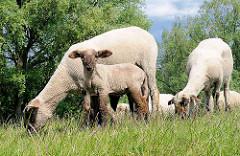 Schafe mit Lamm auf einem Deich in Hamburg Wilhelmsburg.
