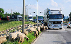 Die Schafe weiden dicht an der Hauptverkehrsstrasse in Hamburg Wilhelmsburg - Lastwagen warten, bis die Schafe von der Strasse sind.