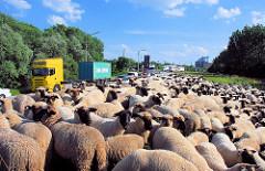 Eine Schafsherde weidet auf dem Reiherstieg Hauptdeich in Hamburg Wilhelmsburg - Lastwagenverkehr, Autoverkehr auf der Strasse.