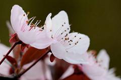 Rosafarbene Blüten der Blutpflaume / Kirschpflaume (Prunus cerasifera)