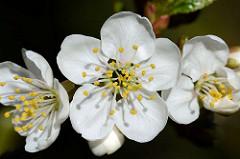 Blüten eines Kirschbaums - weisse Blüten, Staubgefässe.