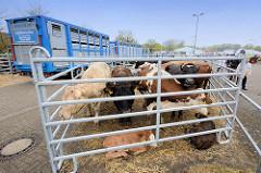Ab Mitte des 15. Jahrhunderts erlangte Wedel größere Bedeutung durch den Ochsenhandel. Jeweils im Frühjahr wurden die Magerviehherden aus dem dänischen Jütland über den Ochsenweg nach Wedel getrieben, wo sie verkauft und über die Elbe verschifft wurd