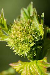 Blütenknospe und junge Blätter von einem Schneeball, Viburnum.