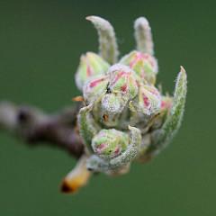 Nahaufnahme von geschlossenen Blüten / Knospe eines Birnbaumes, Pyrus.