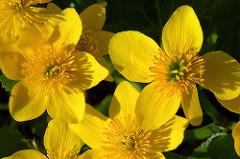 Blüten der Sumpfdotterblume / Caltha palustris.