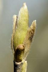 Blütenknospe der Magnolie  (Magnolia),  nach dem französischen Botaniker Pierre Magnol benannt; Ziergehölz.