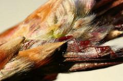 Detail einer Blattknospe der Blutbuche / Fagus sylvatica f. purpurea auch Purpurbuche gennannt.