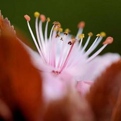 Blüte / Staubgefässe der Blutpflaume / Kirschpflaume (Prunus cerasifera)