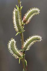 Macro von Blüten einer Purpur-Weide, Salix purpurea; wertvolle Weide für Wildbienen; purpurfarber Staubbeutel.