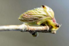 Blattknospe vom Haselnussstrauch - Gemeine Hasel, Corylus avellana; erreicht eine Höhe von ca. 6 m.