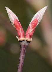 Blattknospen eines Japanischen Zierahorns / Edelahorn, Acer.
