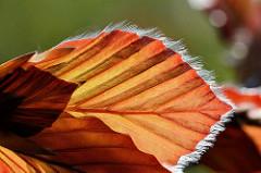 Junge Blätter einer Blutbuche / Fagus sylvatica f. purpurea auch Purpurbuche genannt - Macrofotografie / Gegenlicht.