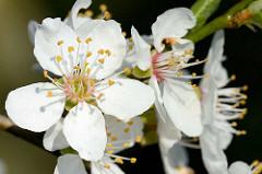 Weisse Blüten eines Pflaumenbaumes / Prunus domestica.