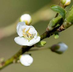 Blüte, Knospen von einem Pflaumenbaum - Macrofotografie im Frühling.