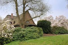 Blühende Magnonlien - Reetdachhaus, Steinberg in Wedel.