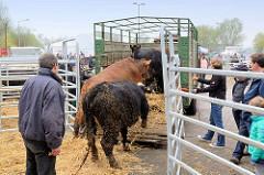 Rinder werden auf dem Wedeler Ochsenmarkt auf einen Transport-Anhänger getrieben.
