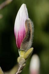 Knospe einer Magnolienblüte im Hamburger Stadtpark - die Magnolie  (Magnolia) ist nach dem französischen Botaniker Pierre Magnol benannt; Ziergehölz.