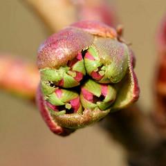 Leicht geöffnete Knospe einer Japanischen Zierkirsche / Japanische Blütenkirsche, Prunus serrulata.