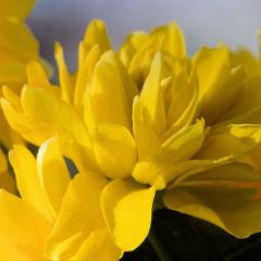 Gelbe Blüte eines Ranunkelstrauchs - Goldröschen.