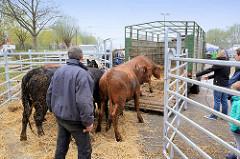 Rinder / Ochsen werden auf dem Wedeler Ochsenmarkt auf einen Transport-Anhänger getrieben.