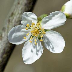 Weisse Blüte / Kronblätter, Petalien eines Pflaumenbaumes - gelbe Staubblätter, Stamina - Fruchtblätter, Karpelle.