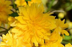 Gelbe Blüten des Ranunkelstrauchs - Goldröschen.