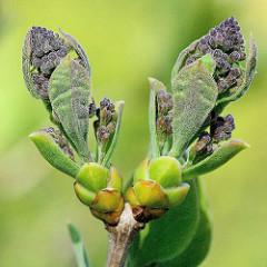 Knospen vom Gemeinen Flieder (Syringa-vulgaris-Hybride)