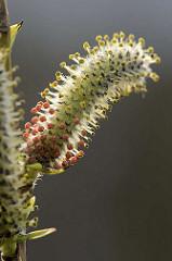 Macro einer Blüte von einer Purpur-Weide, Salix purpurea; wertvolle Weide für Wildbienen; purpurfarber Staubbeutel.