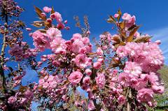 Blühende Japanische Zierkirsche / Japanische Blütenkirsche, Prunus serrulata.