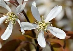 Geöffnete Blüten der Felsenbirne / Amelanchier; Zierstrauch - Baum mit vitaminreichen Wildfrüchten.