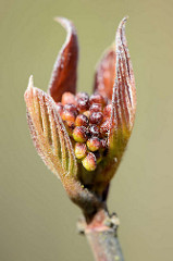 Knospe der rotblättrigen Haselnuss / Corylus avellana; Zierstrauch, Höhe ca. 5 m. -