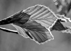 Junge Blätter einer Blutbuche / Fagus sylvatica f. purpurea auch Purpurbuche genannt - Schwarz Weiss Macro Aufnahme im Gegenlicht.