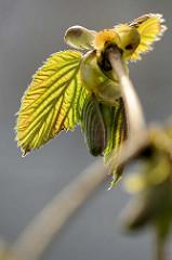 Junge Blätter vom Haselnussstrauch - Gemeine Hasel, Corylus avellana; erreicht eine Höhe von ca. 6 m.